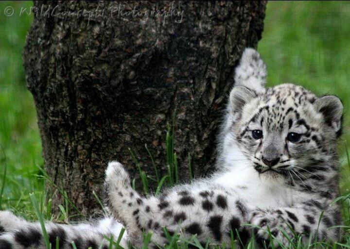 Baby Snow Leopard | Animal Safari | Pinterest