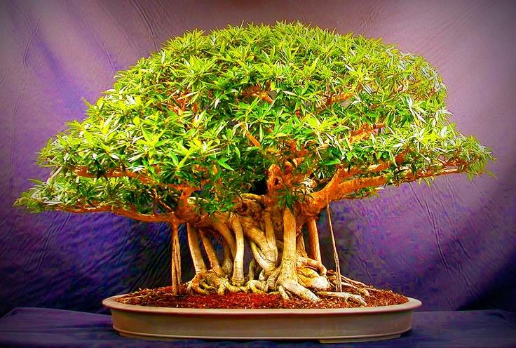 Cool bonsai bonsai 3 pinterest for Cool bonsai tree
