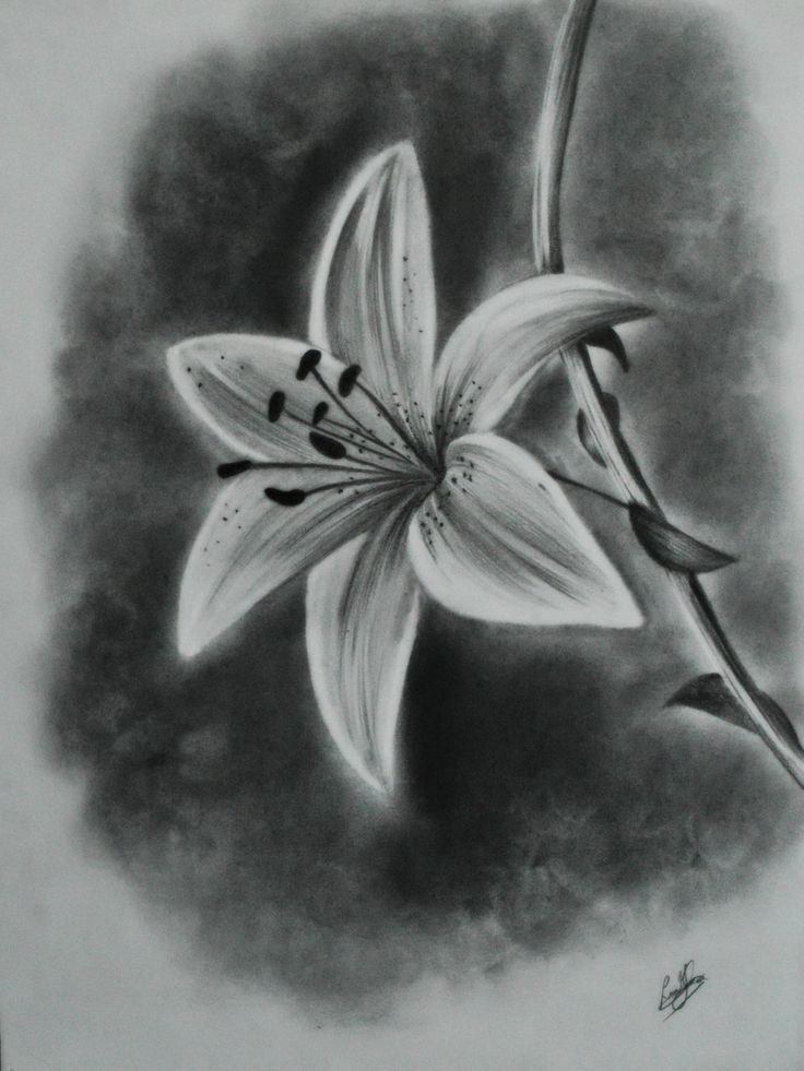 lily pencil drawings lilies by nesu pencil drawing of a lily lily    Lily Flower Drawings In Pencil