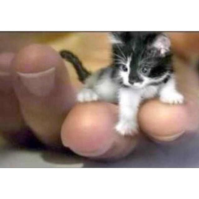 This is a Kyoto Micro Tuxedo Kitten