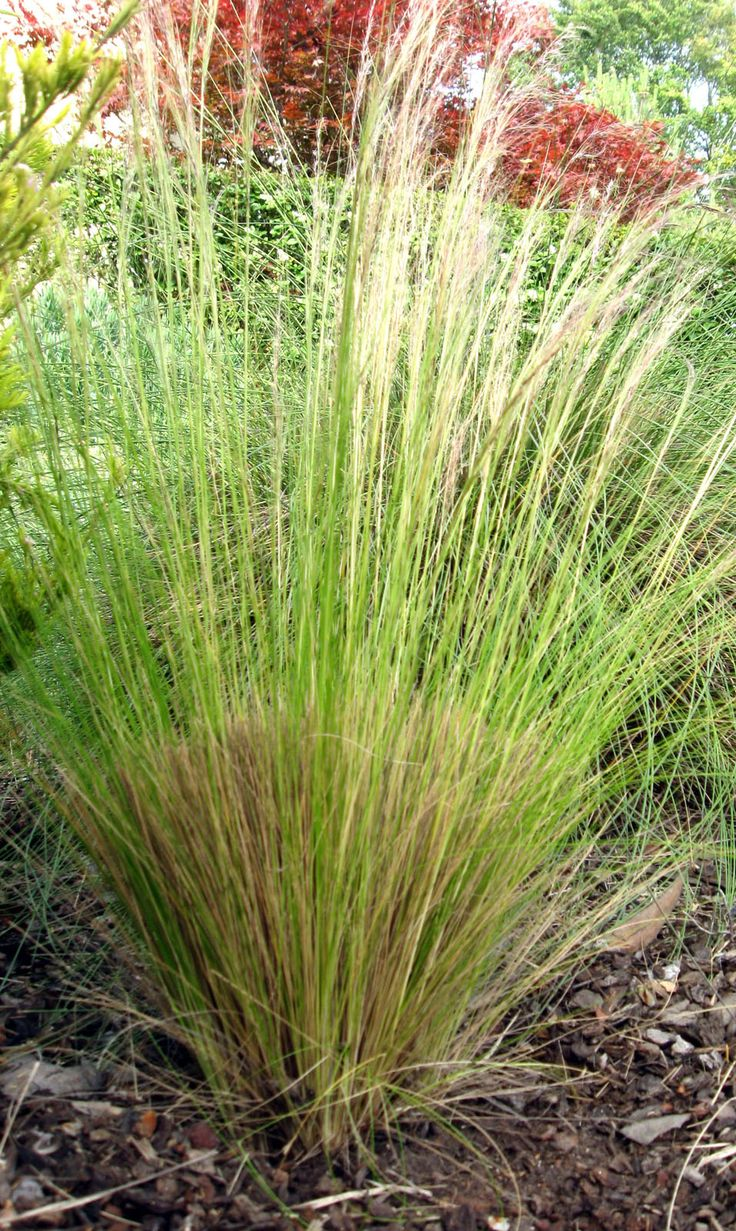 Ornamental grasses ornamental grasses chicken yard for Ornamental grass front yard