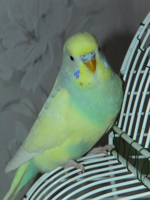 parakeet colors - photo #4