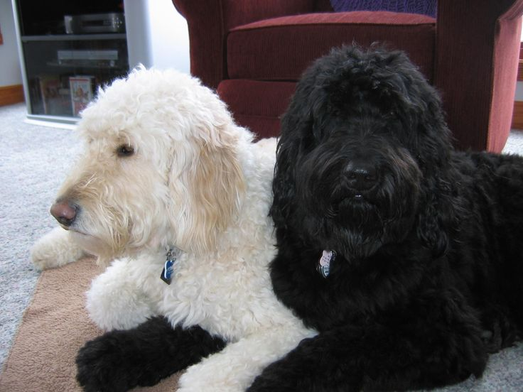 Rorie & Riley Standard F1 Goldendoodle | Brewer's ...