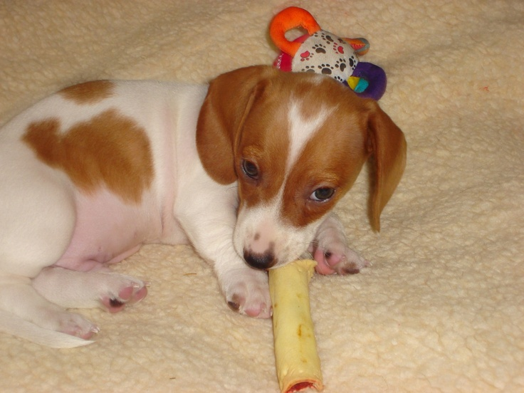 Piebald Dachshund | Weenie Dogs | Pinterest