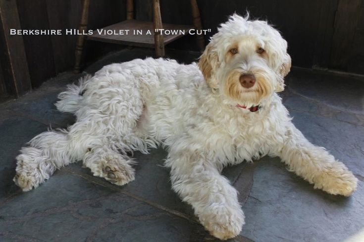 labradoodle grooming styles - Google Search