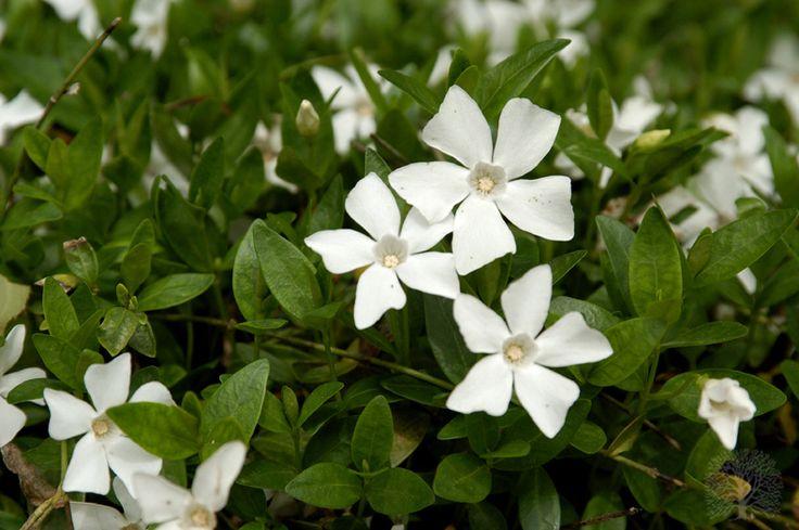 Vinca minor 'Gertrude Jekyll'   Garden   Pinterest