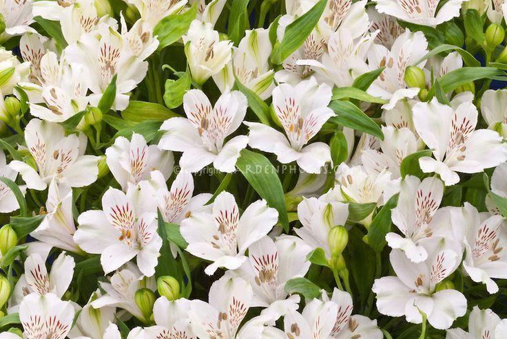 alstroemeria 39 virginia 39 white flowers flowers and plants pinterest. Black Bedroom Furniture Sets. Home Design Ideas