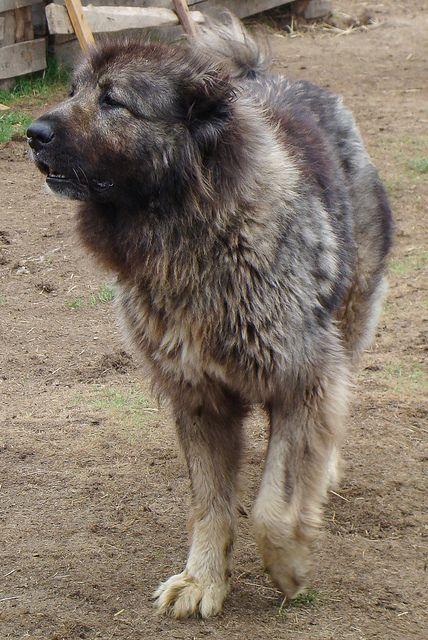 Caucasian ovcharka russian bear dog for sale