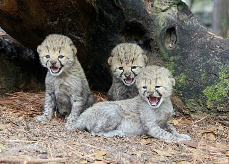 baby cheetahs in the wild