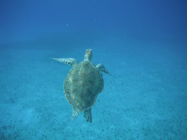Sea turtle in St. Lucia