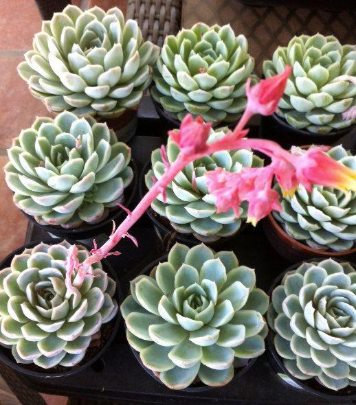 Succulent Plant - Echeveria 'Mexican Snowball'