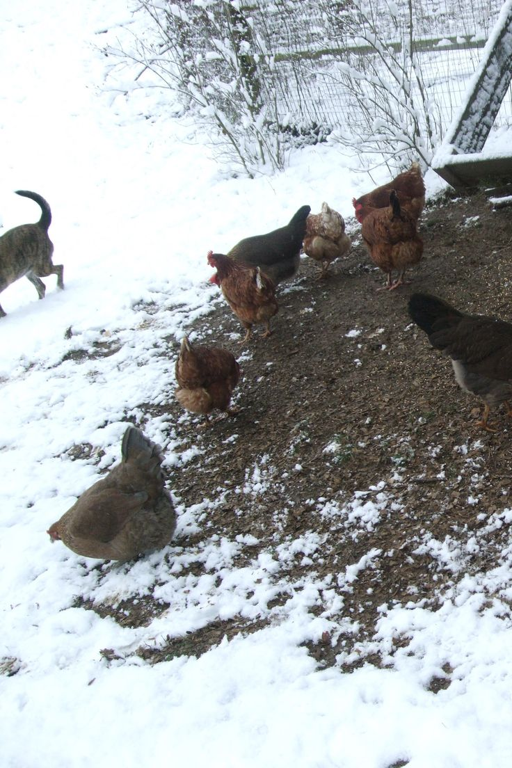 Backyard Chickens In Winter : Winter Free Range Chicken Tips Join us on facebook Tell a friend about