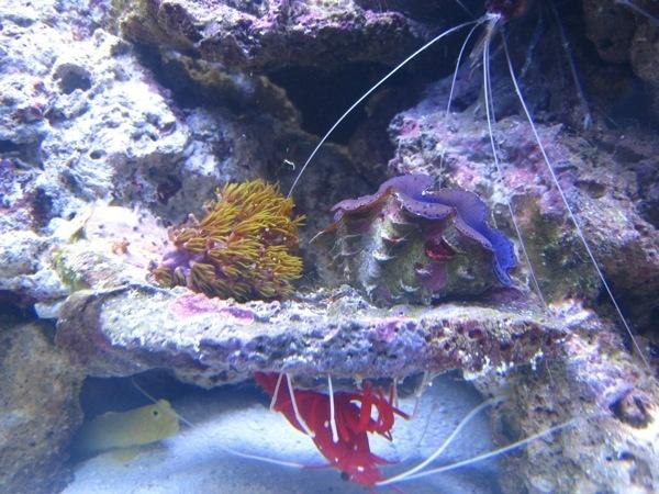 110 - photo at Saltwaterfishbook reef aquarium inverts Pinterest