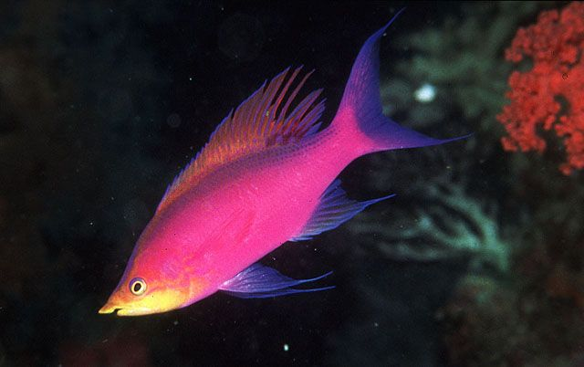 Purple queen anthias reef safe fish pinterest for Purple saltwater fish