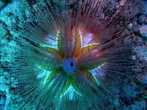 mauis blue spotted sea urchin echinoderm species