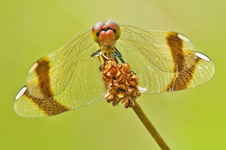 Banded Darter, Erik Veldkamp Dragonfly Pinterest