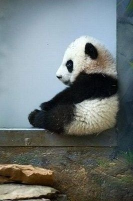 wish I knew what this panda was thinking