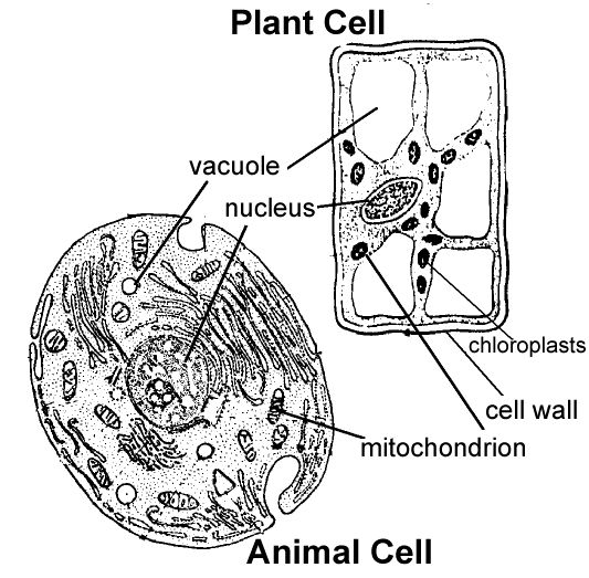 plant vs  animal cell coloring