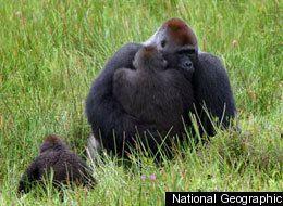 Gorillas mating | Mating in animal world | Pinterest