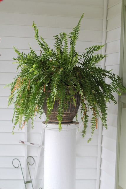 gotta get a boston fern for my front window...