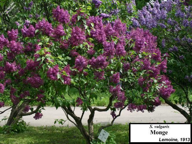 monge lilac trees and shrubs pinterest