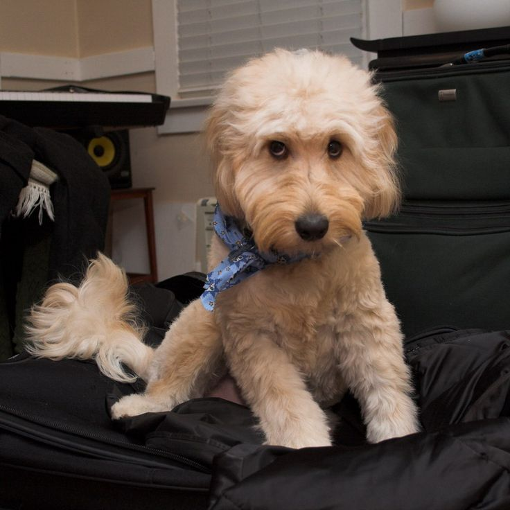 Haircuts For Goldendoodles Pictures: Goldendoodle Haircut