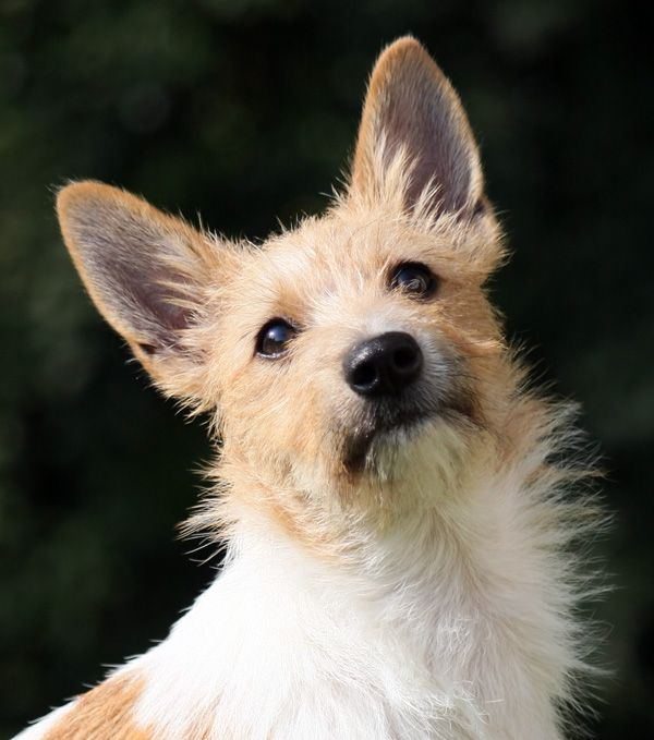 Wire Haired Pequeno Portuguese Podengo   Dog Breeds Picture
