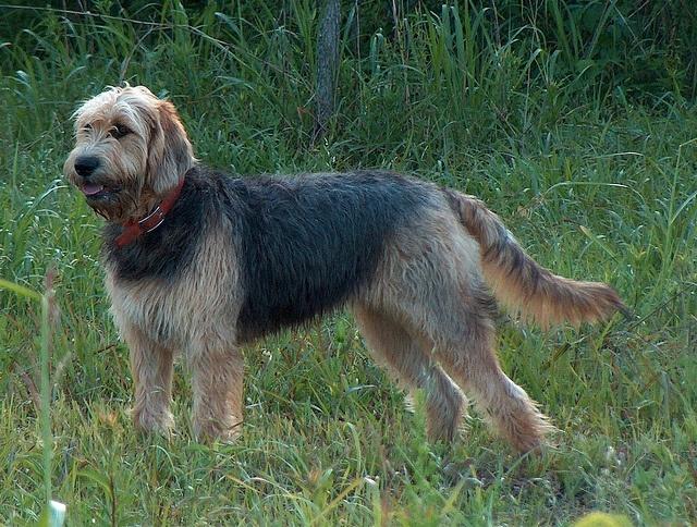 Otterhound. | Dog | Pi...