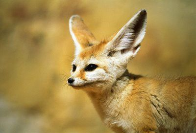Fennec hare hoax - photo#24