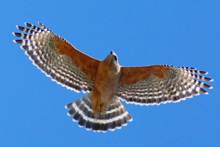 Red Tail Hawk | Winged...