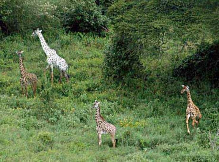 Pin by Egertha Cartwright on Giraffe | Pinterest