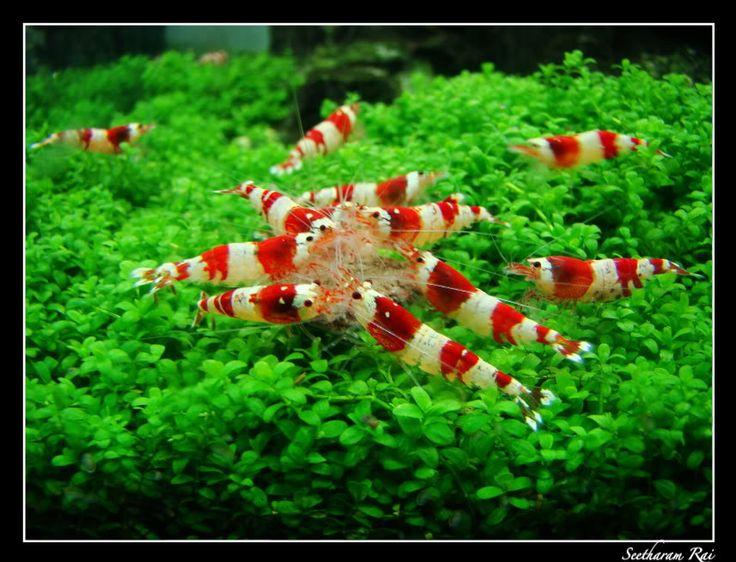 Crystal Red Shrimp Shrimps Pinterest