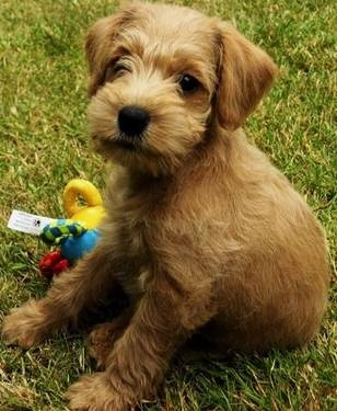 Adorable Gold & Red Schnoodle Puppies! | dogs | Pinterest