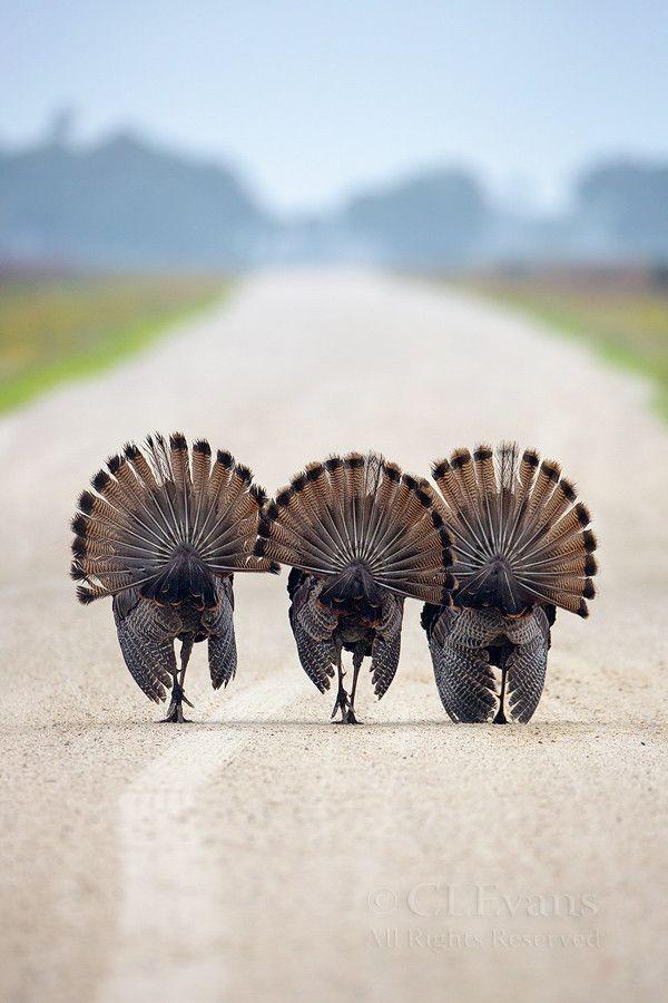 """""""Three Amigos"""" - Wild Turkey (Meleagris Gallopavo), Kissimmee Prairie Preserve, Okeechobee, Florida"""
