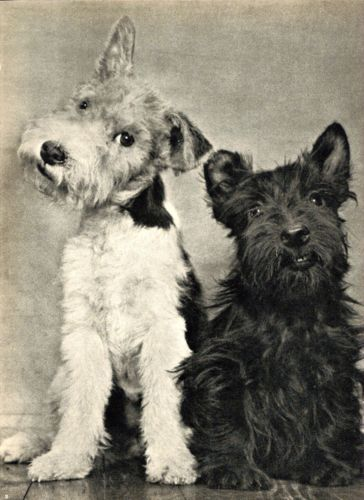 A Smiling Scottish Terrier w Wire Fox Terrier Dog Photographed by Ylla 1945 | eBay