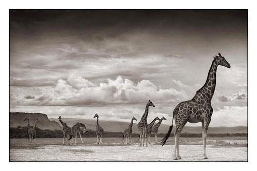 Giraffes on Lake Bed, Nakuru 2007
