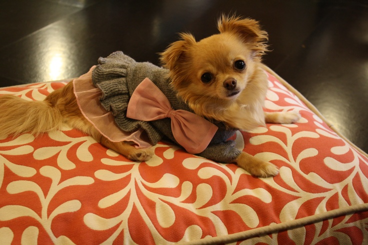 long haired teacup chihuahua long haired teacup chihuahua long haired ...