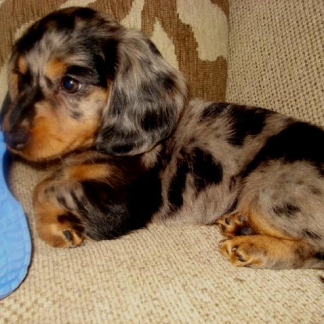 Wienerdogs Related Keywords & Suggestions - Wienerdogs Long Tail ...