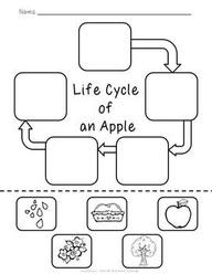 Apple Life Cycle Worksheet | Apples | First Grade | Pinterest