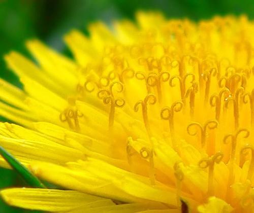 Dandelion Macro by quick5pnt0