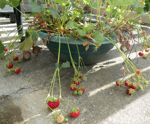 Growing a vegetable garden on a balcony garden pinterest for Balcony vegetable garden