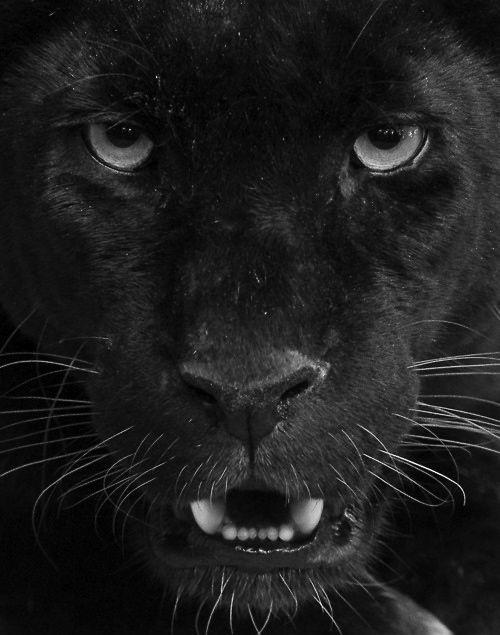 Black Panther close up | Animals Big and Small | Pinterest Panther Face