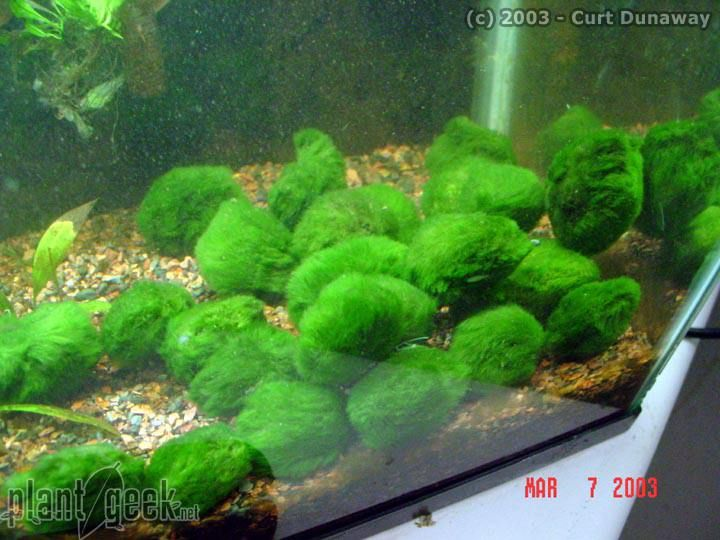 Marimo balls fish tank pinterest for Moss balls for fish tanks
