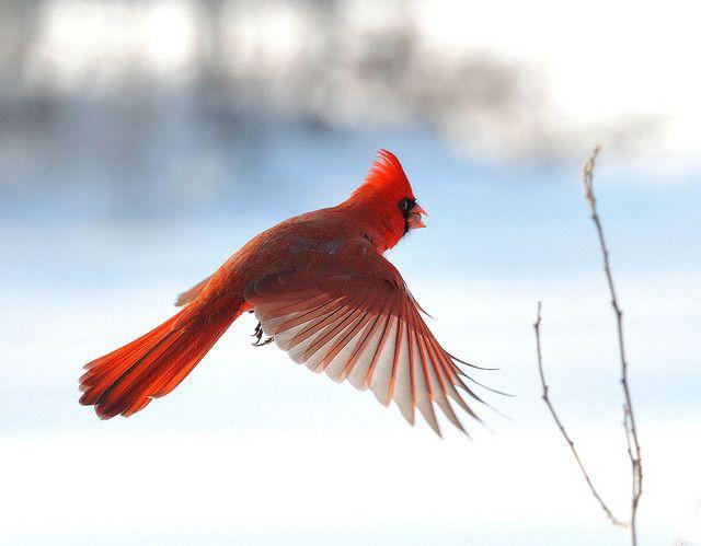 Cardinal in flight! super!