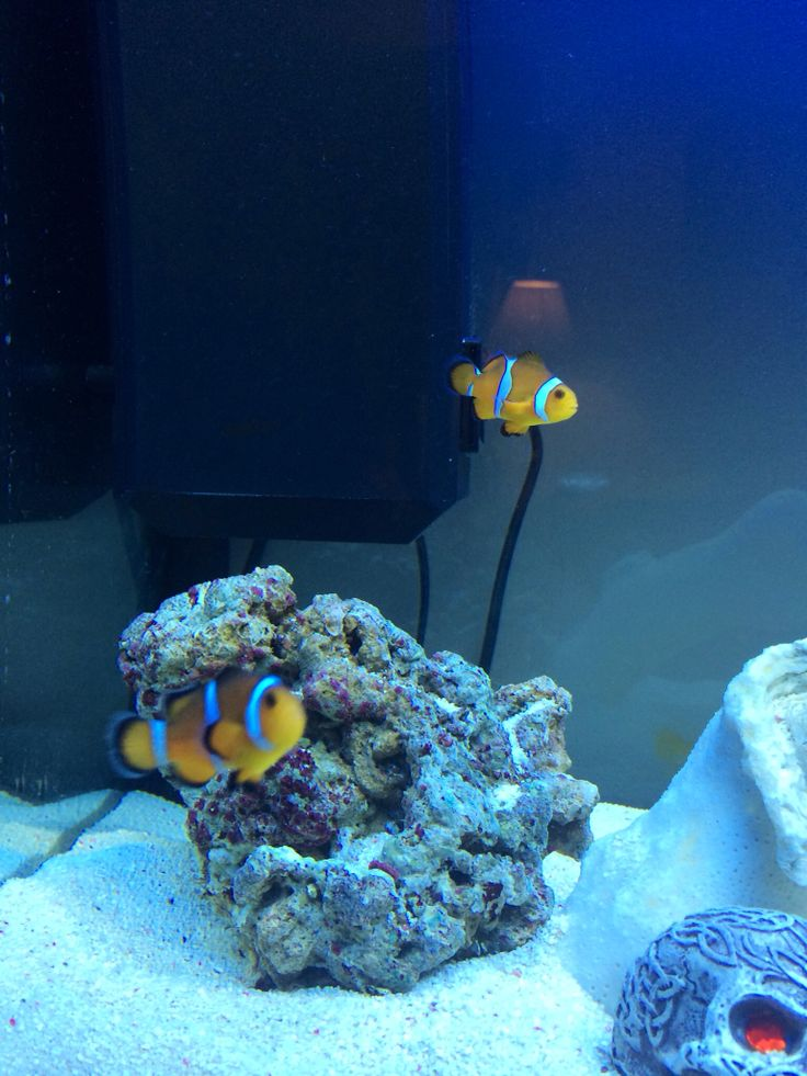Clown fish into the blue pinterest for Blue clown fish