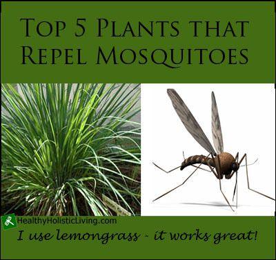 Top 5 plants that repel mosquitoes gardening pinterest for What plants naturally repel mosquitoes