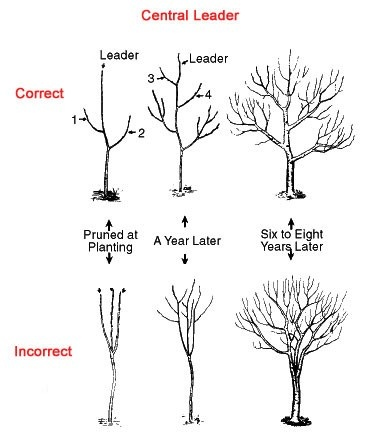 pruning an apple tree diagram