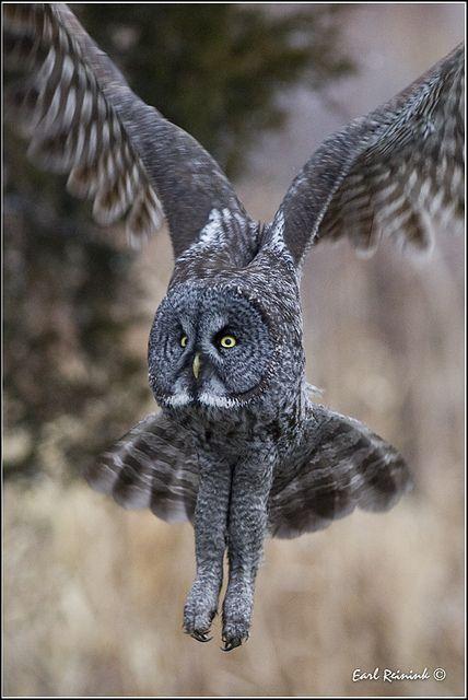 Great Gray Owl | BIRDS - Great grey owl | Pinterest