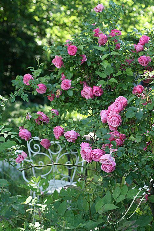 Protagonista la rosa