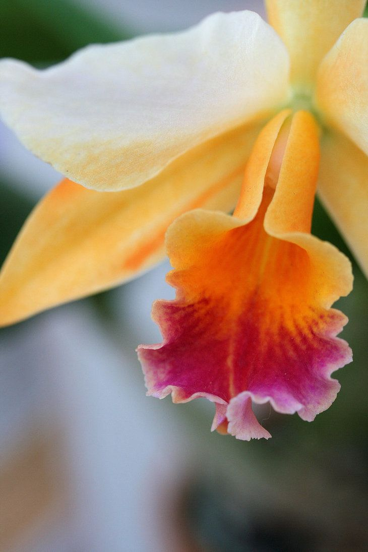 Orchid by ~VivaNickDrake